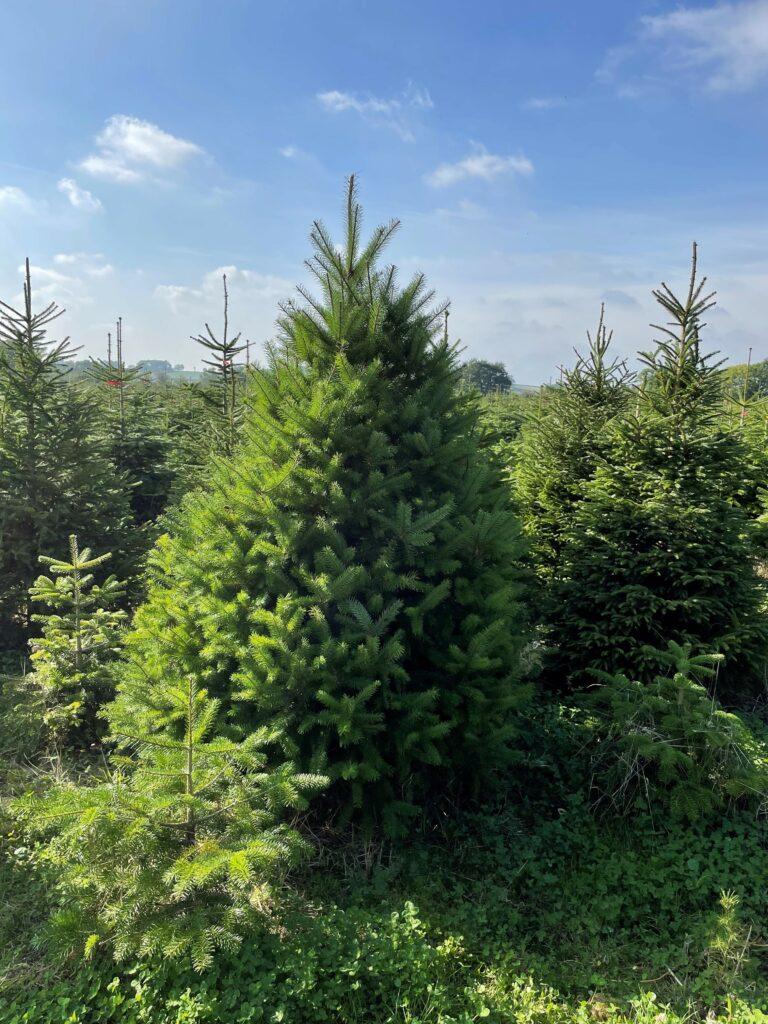 Fresh_Trees